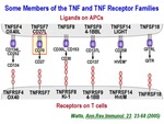 Some Members of the TNF and TNF Receptor Families by Steinman Laboratory