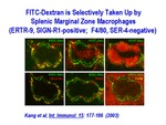 FITC-Dextran Is Selectively Taken by Splenic Marginal Zone Macrophages by Steinman Laboratory